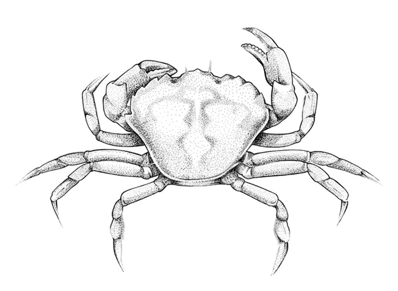 http://phillustrator.co.uk/files/gimgs/22_crab-new.png