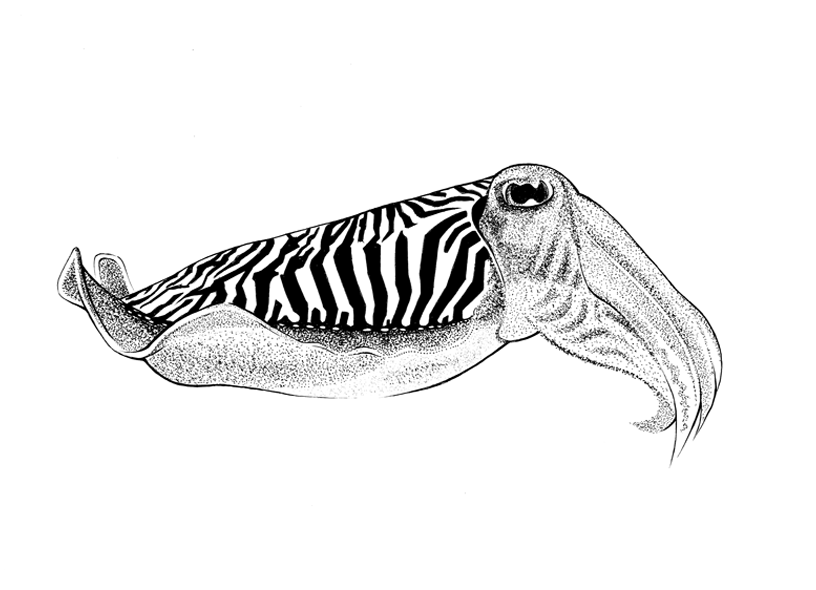 http://phillustrator.co.uk/files/gimgs/22_cuttle-fish.png