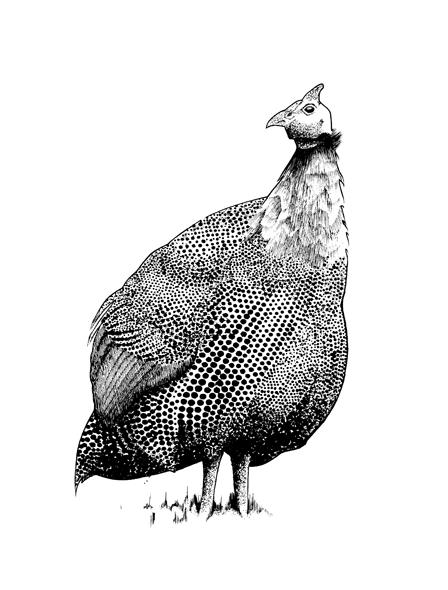 http://phillustrator.co.uk/files/gimgs/22_guinea-fowl.png