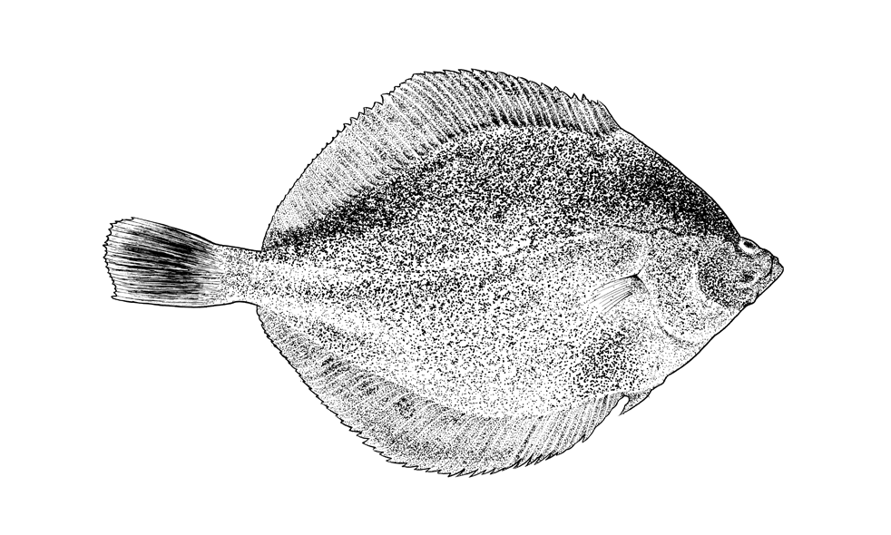 http://phillustrator.co.uk/files/gimgs/22_plaice-small.png