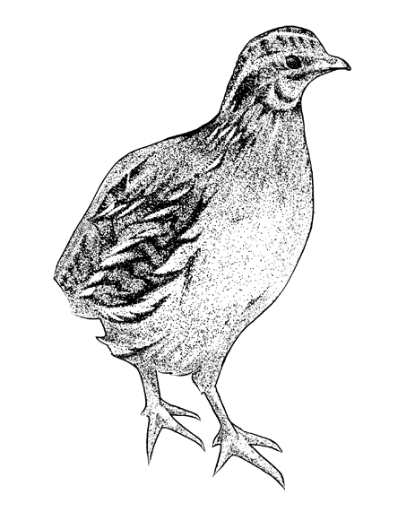http://phillustrator.co.uk/files/gimgs/22_quail.png